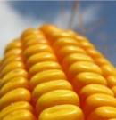 Résultats préliminaires d'une nouvelle étude : «Les agriculteurs adoptent de nouvelles variétés de maïs»