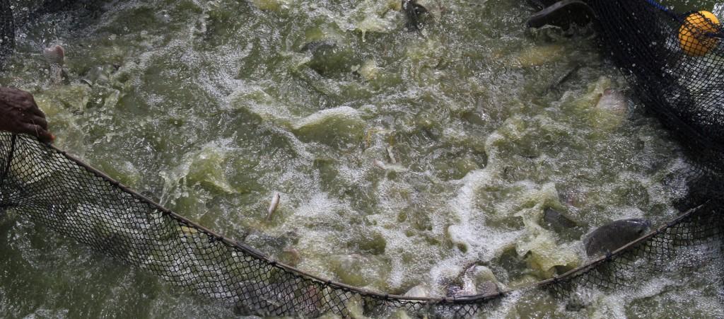 pisciculture2 (1)