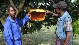 Tuer des mouches des fruits avec des appâts
