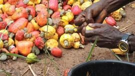 La collecte de fruits tombés contre les mouches des fruits