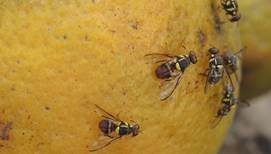 La lutte intégrée contre les mouches des fruits