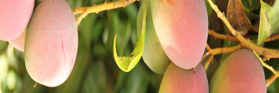 Le Projet Mouches des fruits table sur le transfert de technologies