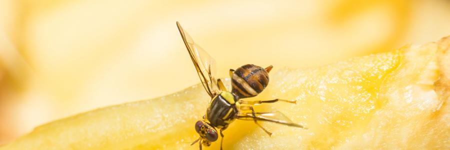 Sortie du rapport final de l'atelier de partage des leçons apprises du projet sur les mouches des fruits