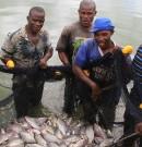 La pisciculture cicatrise les rivalités ethniques en Côte d'Ivoire